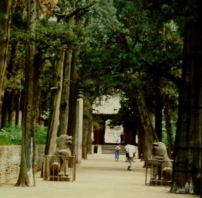 Drevored starodavnih cipres, ki vodi h Konfucijevi grobnici.